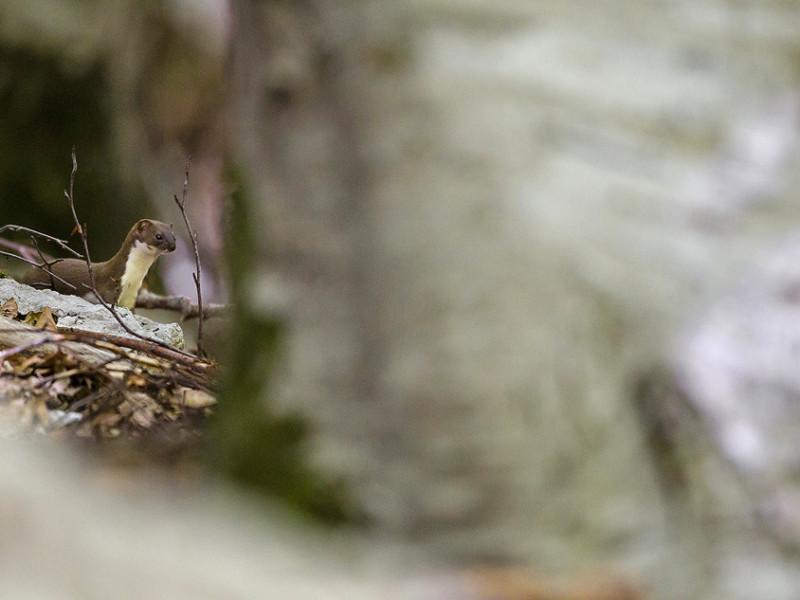 Lo sguardo coglie un movimento repentino tra le foglie morte della lettiera. Una minuta sagoma marrone, flessuosa come un serpente e rapida come un uccello, si muove tra i massi e le radici alla base dei faggi. É una donnola, il più piccolo carnivoro europeo. Le minuscole dimensioni di questo mustelide non devono però trarre in inganno: si tratta infatti di un predatore instancabile e altamente efficiente; un vero terrore per topi ed arvicole, che riesce ad inseguire sin all'interno delle loro tane grazie al suo corpo stretto ed allungato. La si vorrebbe osservare più a lungo, ma fulminea come è apparsa, la donnola è già svanita.