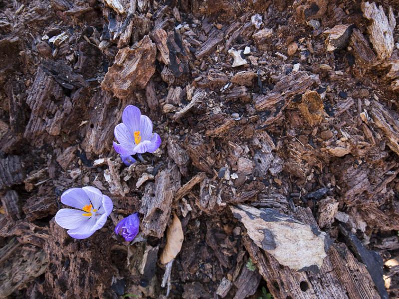 Quando si entra in una foresta non gestita, la prima cosa che colpisce lo sguardo è la quantità di alberi morti, sia rimasti in piedi o caduti sul terreno. Questa è una rarità, poiché usualmente le piante morte di un bosco sono rimosse dall'uomo per essere utilizzate. Nel PNALM le faggete vetuste sono sottoposte a regime di tutela integrale e tutto viene lasciato dove è: la foresta è libera di seguire il proprio ciclo. La necromassa (legno morto) è una risorsa importantissima per questo ecosistema, sfruttata da migliaia di organismi diversi. É un po' come se qui gli alberi godessero di una seconda vita; e questi crochi sbocciati dal legno marcescente ne sono una chiara testimonianza.