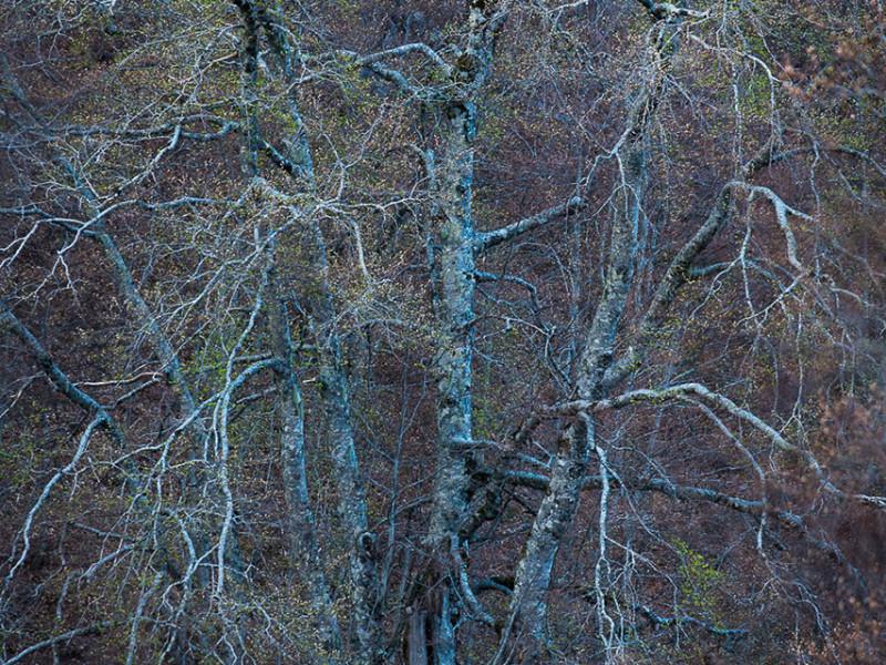 In Aprile nella foresta tutto scorre più veloce. Si è raggiunto il picco di intensità luminosa annuale al di sotto della copertura arborea e approfittando dell'indolenza dei faggi, i fiori del sottobosco si affrettano a riprodursi godendo della disponibilità di luce. Con una continua alternanza tra pioggia e sole, i germogli dei faggi avanzano però con impeto: è il risveglio dal lungo sonno invernale