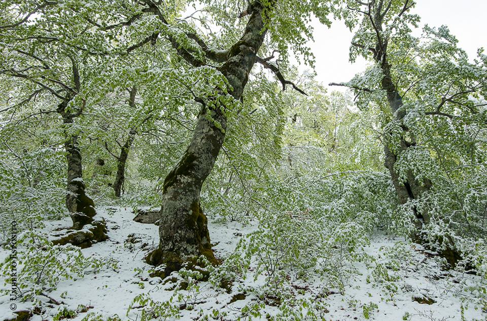 Un vento gelido sferza la foresta, portando con sé una nevicata fuori stagione. Le prime foglie dei faggi sono sopraffatte da freddo e ghiaccio. I preparativi delle piante in vista dell'inverno infatti vanno avanti per giorni o addirittura per settimane; le cellule accumulano zuccheri, abbassando così il loro punto di congelamento, e modificano la propria struttura per attutire senza danni la violenza del ghiaccio. Una gelata fuori stagione può lacerare foglie e germogli e compromettere la vita di numerose piante giovani.