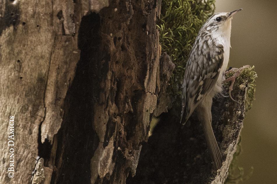 Il rampichino alpestre è una specie di foreste mature e un vero specialista della corteccia degli alberi. Grazie ai lunghi artigli che utilizza come dei ramponi, questo uccello minuto è in grado di scalare abilmente i tronchi di alberi anche molto alti. Con il suo becco ricurvo sonda minuziosamente ogni piccola ruga, ogni massa di muschi o licheni, alla ricerca dei piccoli invertebrati di cui si nutre. Quando poi arriva in cima ad un albero, con un breve volo si posa alla base di un'altra pianta e ricomincia la sua arrampicata. Persino il nido di questo uccello è sorprendente. Il rampichino, infatti, sceglie di costruirlo sotto una scaglia di corteccia sollevata di un tronco morto o morente. Un nido sì fragile, ma molto ben nascosto!