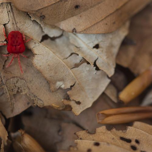 Velluto rosso / Red velvet