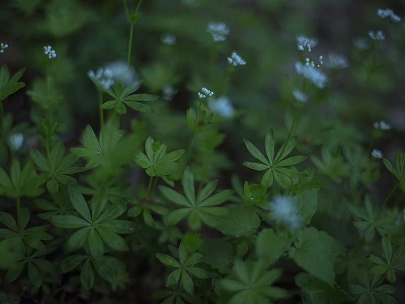 Stelle profumate / Sweet-smelling stars