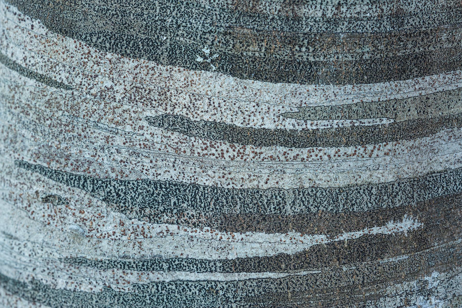 La corteccia del faggio
