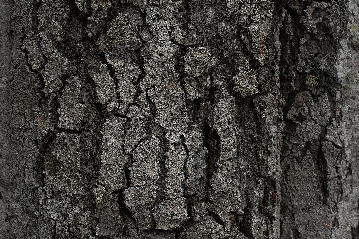 """La corteccia di un faggio della varietà """"quercoides"""