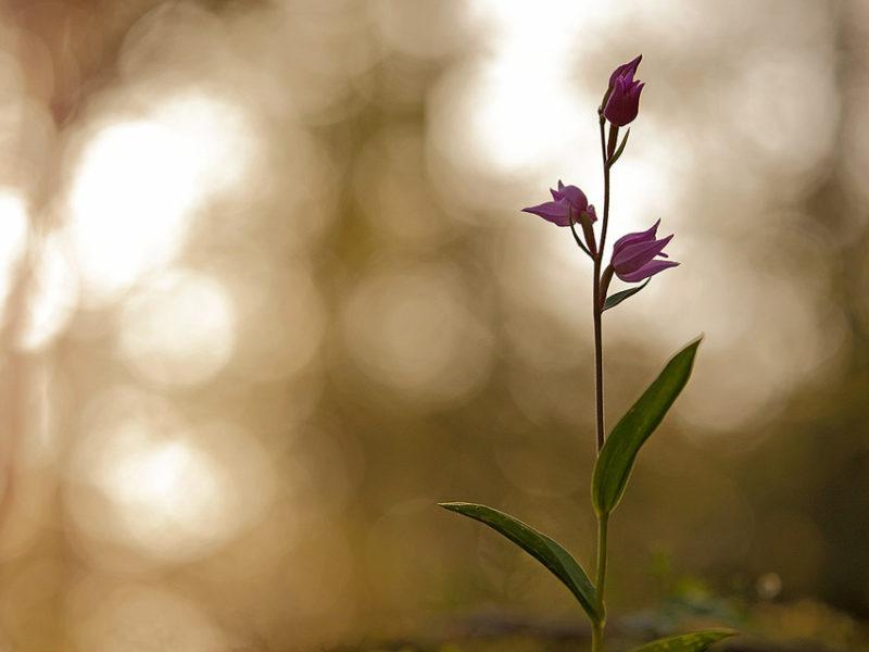 Cephalantera rubra è un'orchidea elegante e bellissima che fiorisce nel cuore dell'estate all'ombra dei faggi.