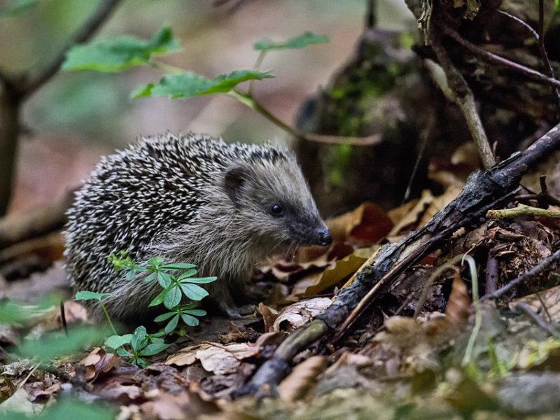 Di abitudini notturne e crepuscolari, questo insettivoro pattuglia la lettiera della foresta alla ricerca di lumache, lombrichi e altri invertebrati di cui si nutre.