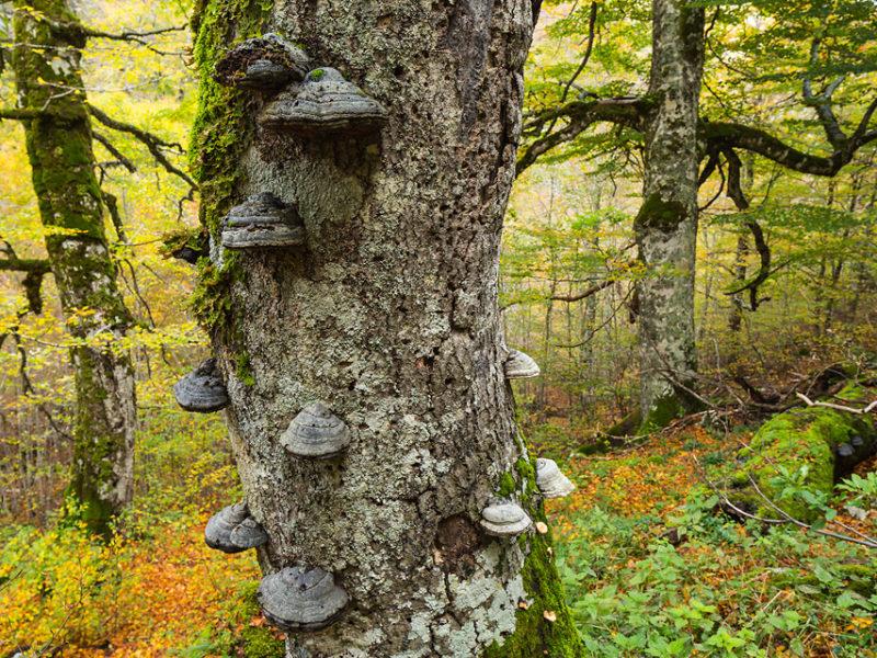 Con l'avanzare dell'età la corteccia protettiva del faggio cede lentamente all'avanzata dei funghi: decine di specie cercano di penetrare all'interno del tronco con il proprio micelio per nutrirsi di legno e sostanze nutritive.