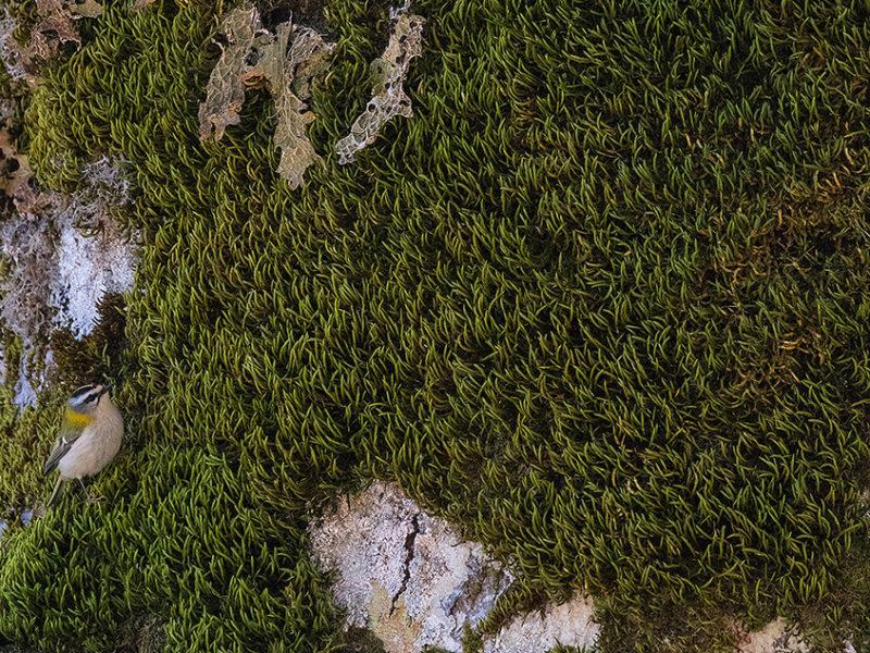 Il grande tronco di un faggio secolare diventa terreno di caccia per una minuscola femmina di fiorrancino (Regulus ignicapillus), tra i più piccoli uccelli d'Europa, alla ricerca di invertebrati tra i muschi e i licheni cresciuti sulla sua corteccia.