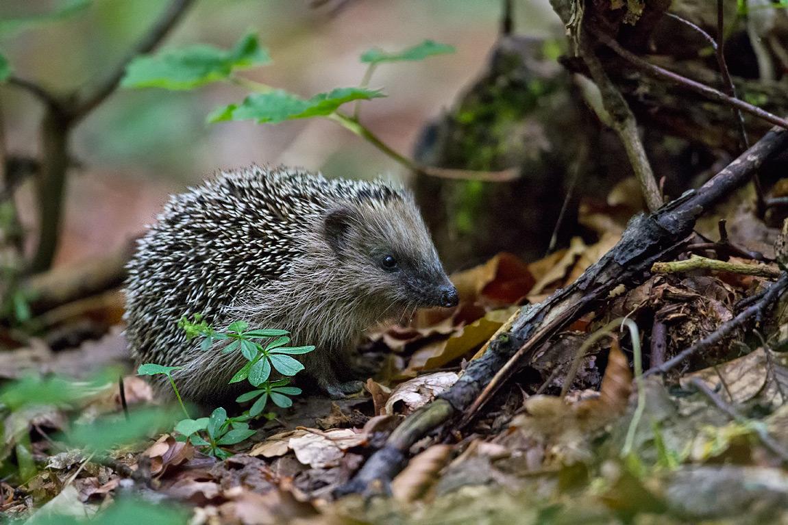 Il riccio (Erinaceus europaeus) è un insettivoro di abitudini prettamente notturno ed un grande predatore di invertebrati della lettiera forestale.