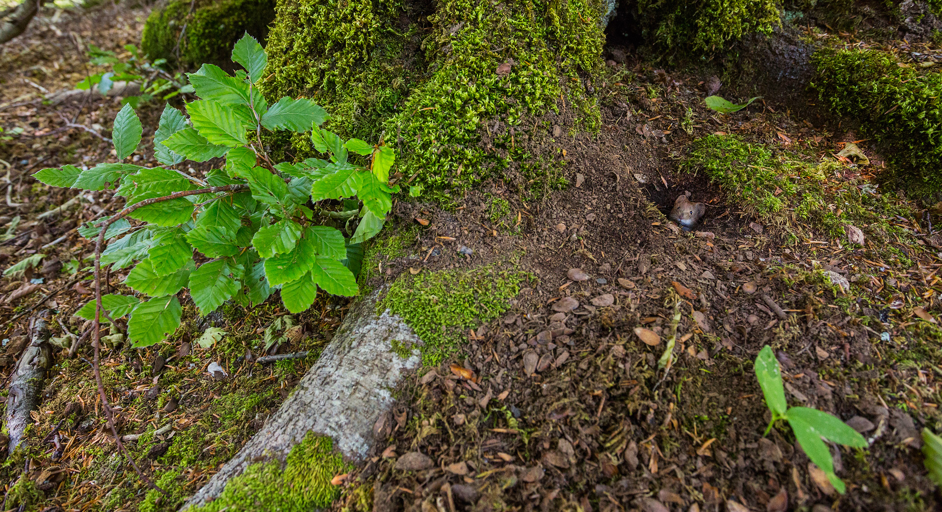 Un'arvicola rossastra (Myodes glareolus) fa capolino da una galleria scavata nel terreno alla base di un faggio secolare.