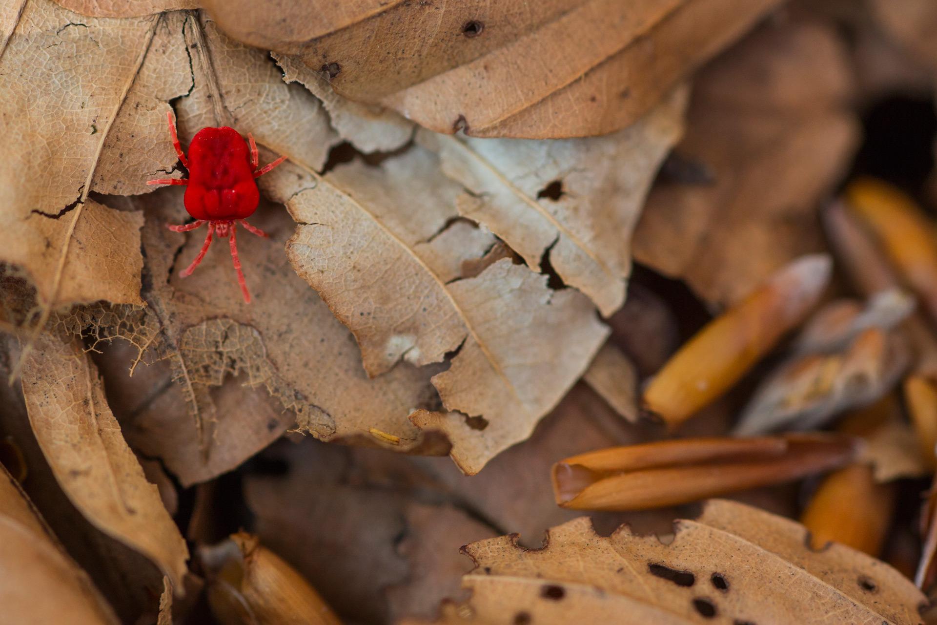 Un piccolo acaro del genere Trombidium, coloratissimo abitante delle faggete mature ed instancabile predatore di collemboli e piccoli invertebrati del suolo