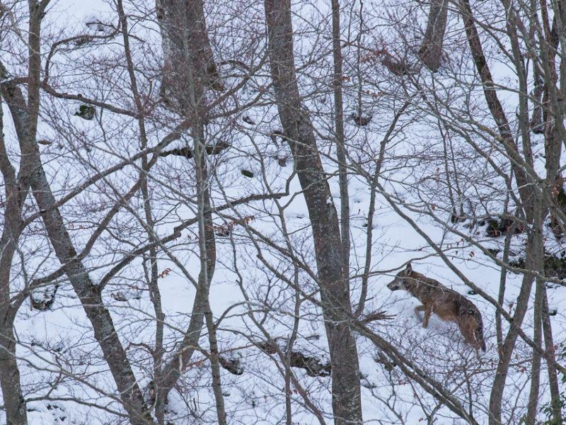 Le faggete del PNALM sono importantissime per la sopravvivenza del lupo, come habitat d'elezione per l'allevamento dei piccoli e zone di rifugio. La velocità con cui i lupi sanno viaggiare al suo interno è impressionante e il loro movimento sicuro e deciso si snoda seguendo segnali e mappe mentali che non coincidono necessariamente con i percorsi utilizzati dall'uomo e che vengono affinati attraverso l'esperienza che gli individui tramandano di generazione in generazione. Durante questi mesi il team di Forest Beat ha imparato a conoscere a fondo i sentieri che le attraversano ma soltanto in qualche rara occasione è riuscito a cogliere l'emozione dell'incontro.