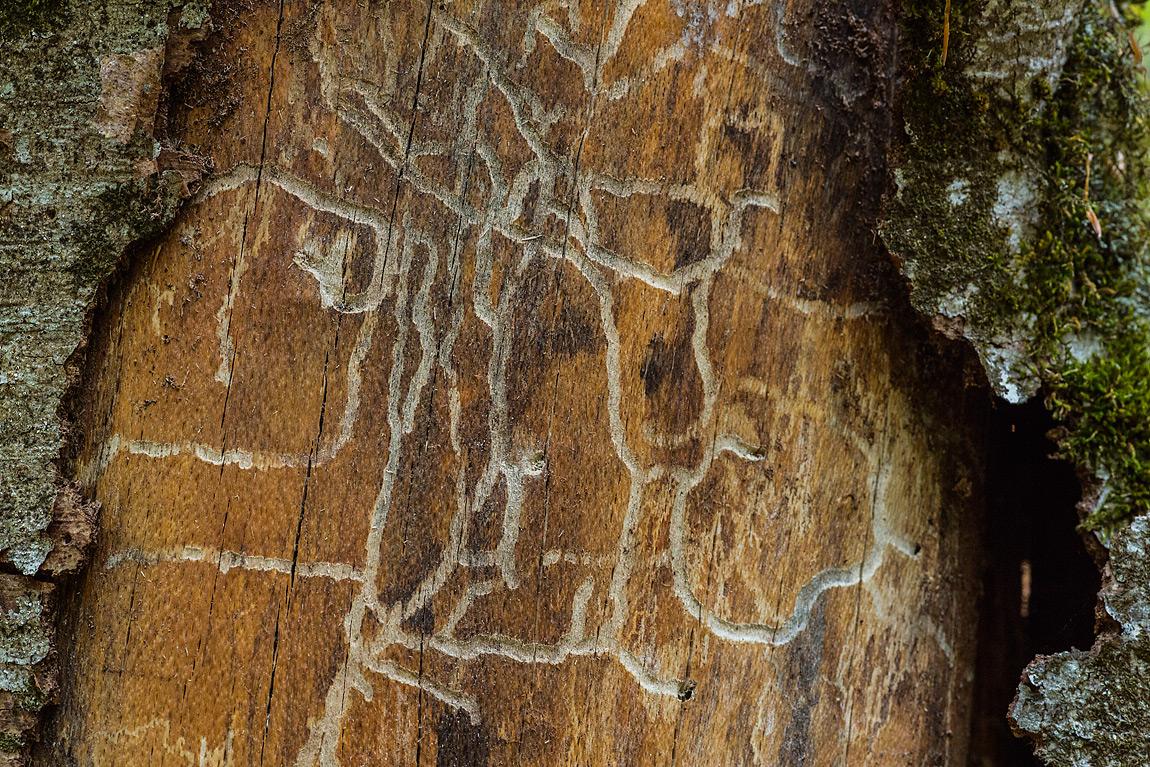 Le larve degli insetti xilofagi, come ad esempio coleotteri delle famiglie Buprestidi, Bostrichidi e Scolitidi, prima di raggiungere la metamorfosi si nutrono del cambio di un albero scavando lunghe gallerie subito sotto la corteccia.
