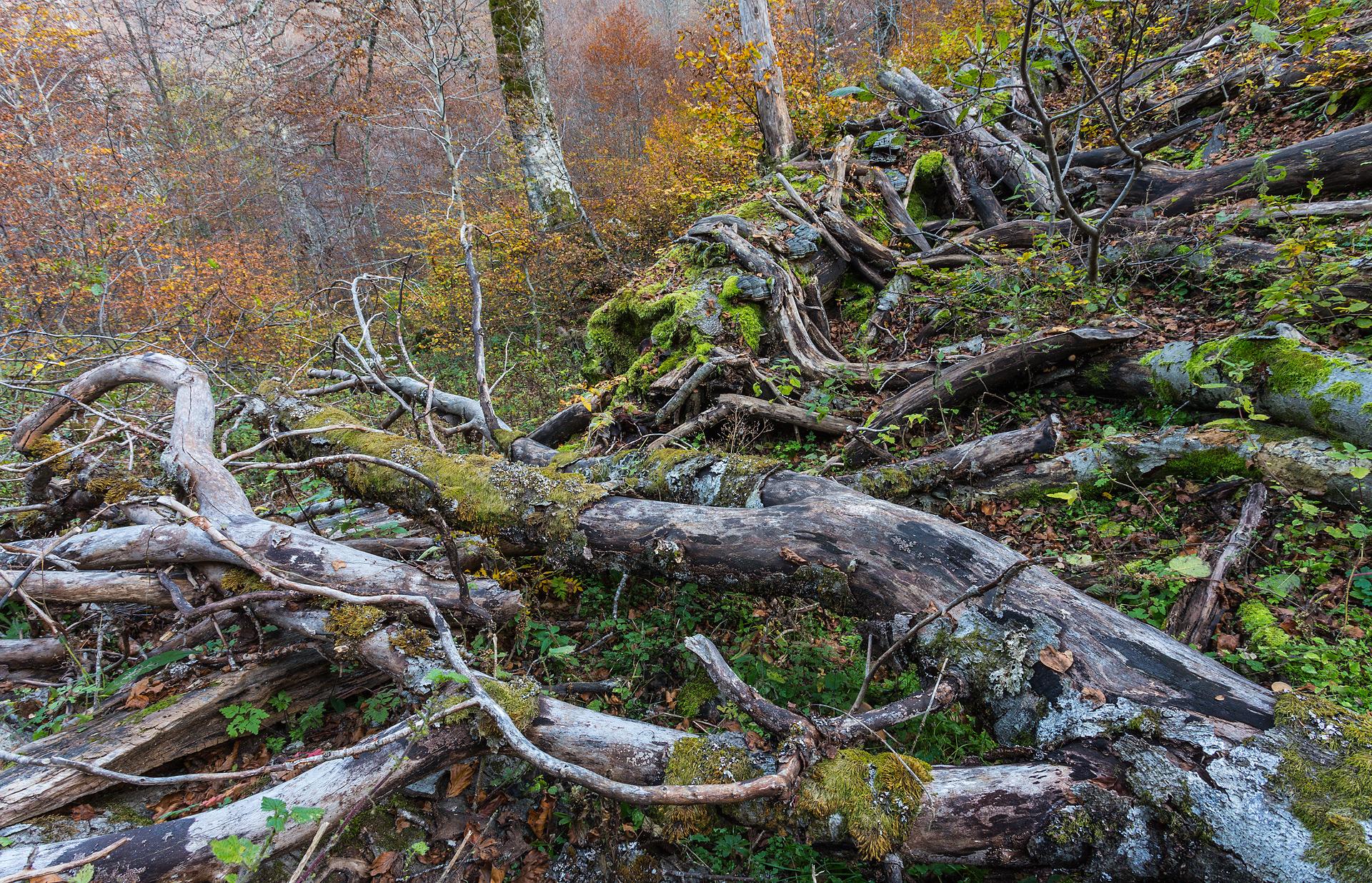 """Gran parte dell'anidride carbonica immagazzinata all'interno di un grande albero durante la sua lunga vita rimane intrappolata nelle cellule di legno morto, che vengono via via """"sotterate"""" in profondità dagli organi decompositori. Ciò permette il suo """"stoccaggio"""" nella porzione inerte del terreno e evita che la CO2 venga nuovamente liberata nell'atmosfera."""