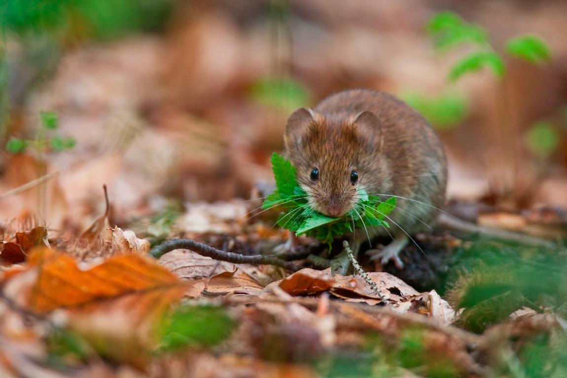 Il notevole contenuto calorico rende le faggiole molto appetite dalla fauna delle foreste