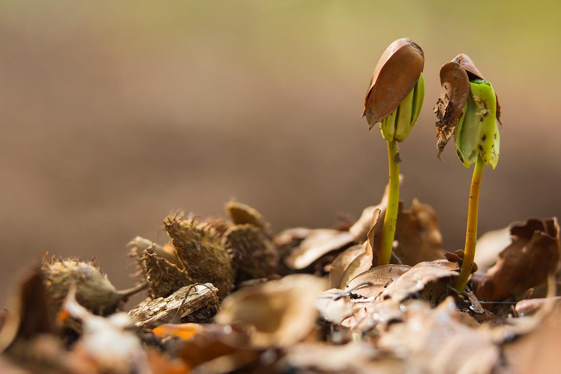 Con l'arrivo dei primi tepori primaverili, la faggiola si è aperta e da essa è uscita una radichetta.