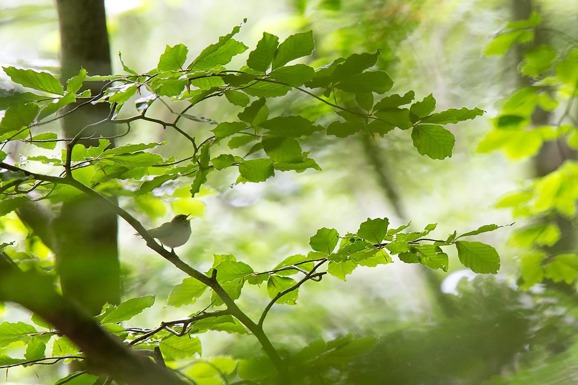 Il luì verde, Phylloscopus sibilatrix. È un piccolo passeriforme migratore, che sverna in Africa e torna ogni primavera per riprodursi nelle faggete europee. Si nutre prevalentemente di invertebrati che cattura ra le chiome degli alberi. A primavera il suo canto, liquido e ritmato, rappresenta la vera colonna sonora delle faggete appenniniche